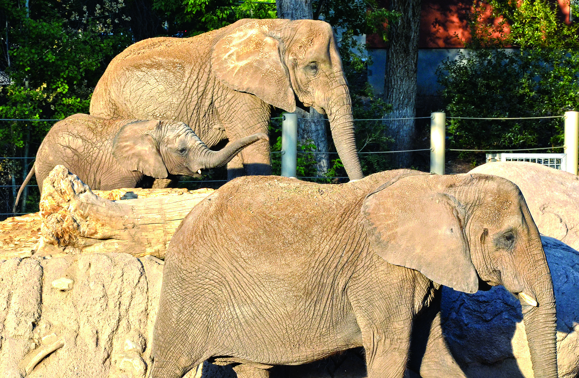 Elephants at Hogle Zoo