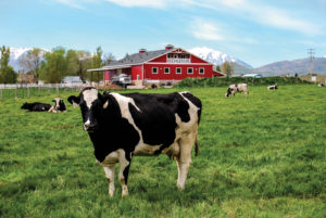 Cows grazing outside Heber Valley Artisan Cheese